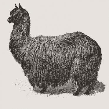 Alpaka Geschichte